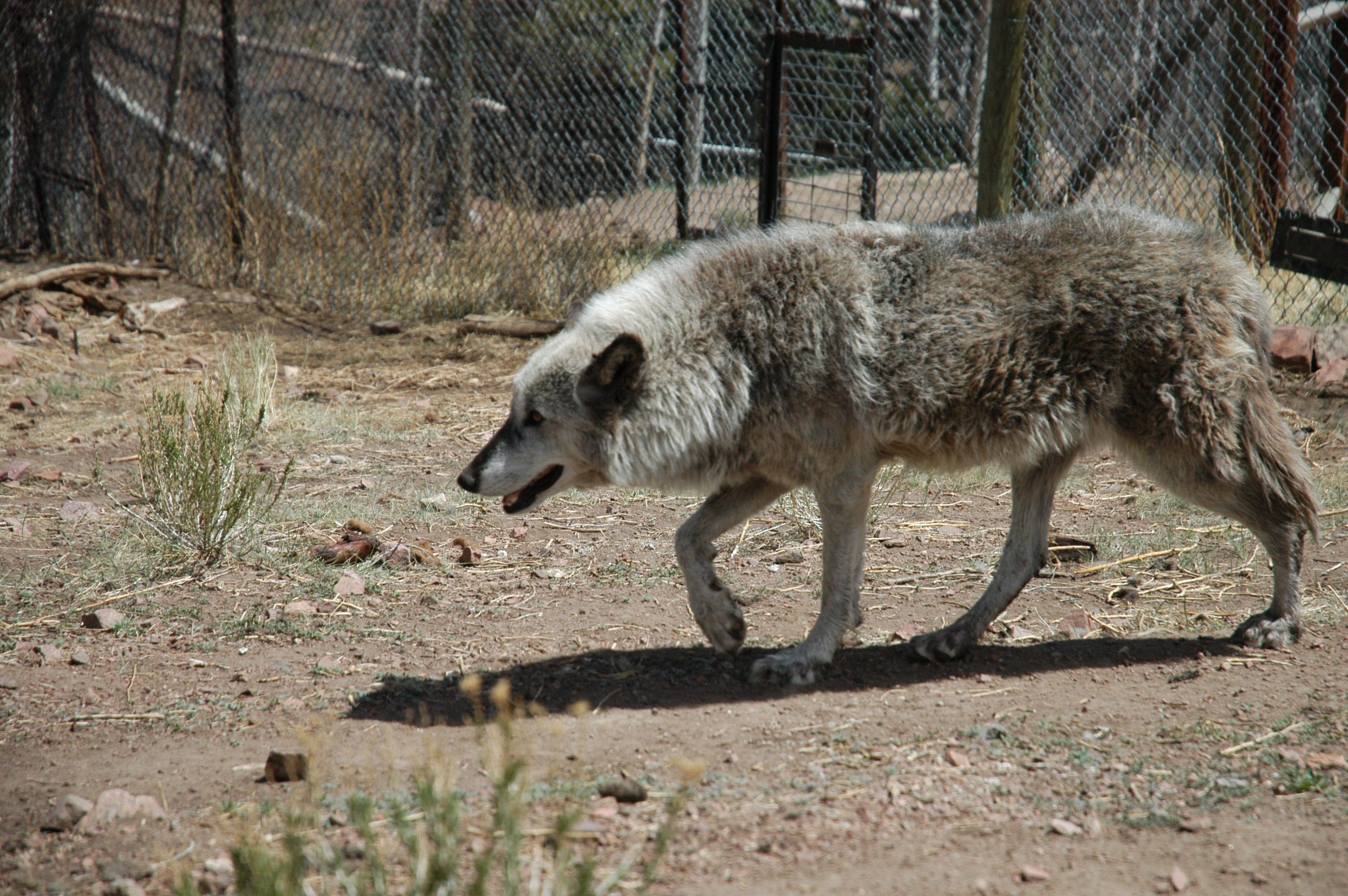 The biggest wolf in the world. Description, habitat and lifestyle of the wolf 58